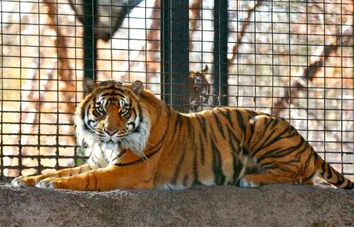 (Chris Neal/The Topeka Capital-Journal via AP, File). FILE - This Nov. 2018, file photo shows Sanjiv, a Sumatran tiger at the Topeka Zoo in Topeka, Kan. The Topeka zoo says a tiger attacked a zookeeper after protocols for handling potentially dangerous...