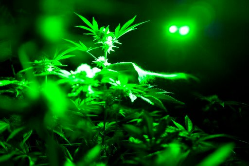 (AP Photo/Richard Vogel, File). FILE - In this May 20, 2019, file photo photo head of cultivation at Loving Kindness Farms Jason Roberts checks one of his marijuana plants in a grow room wearing green lights not to wake them wake them during their nigh...