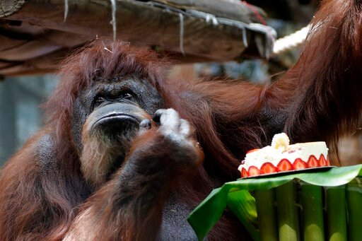 (AP Photo/Thibault Camus). Orangutan Nenette eats a cake as she celebrates her 50th birthday, at the Jardin des Plantes zoo, in Paris, Sunday, June 16, 2019.