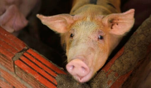 (AP Photo/Hieu Dinh). In this May 30, 2019, photo, a pig is seen in a pen in My Duc district, Hanoi, Vietnam. Asian nations are scrambling to contain the spread of the highly contagious African swine fever with Vietnam culling 2.5 million pigs and Chin...