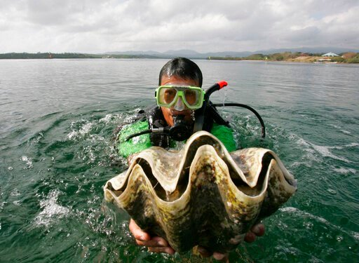 (AP Photo/Bullit Marquez, File). FILE - In this Feb. 24, 2007, file photo, a diver holds a giant clam at the launching of a program for the preservation and propagation of the endangered species in the waters of Puerto Princesa City, Palawan province, ...