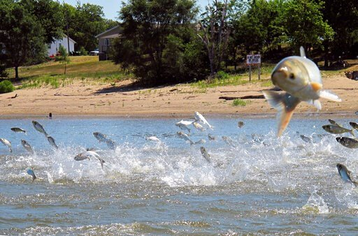 (AP Photo/John Flesher, File). FILE - In this June 13, 2012, file photo, Asian carp, jolted by an electric current from a research boat, jump from the Illinois River near Havana, Ill. A newly released study says if Asian carp reach Lake Michigan, they ...