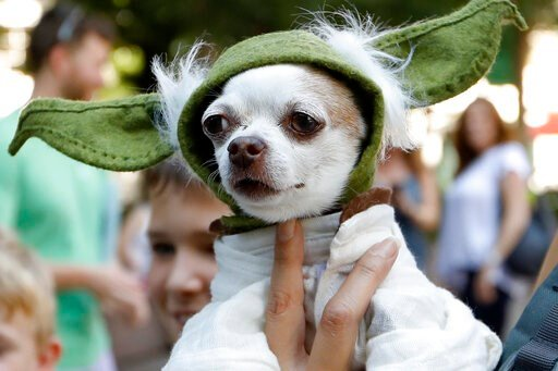"(AP Photo/Andrea Smith). A dog dressed as Yoda from ""Star Wars"" won the cosplay costume contest award at Doggy Con in Woodruff Park, Saturday, Aug. 17, 2019, in Atlanta. Cosplay is the practice of dressing up like a fictional character."