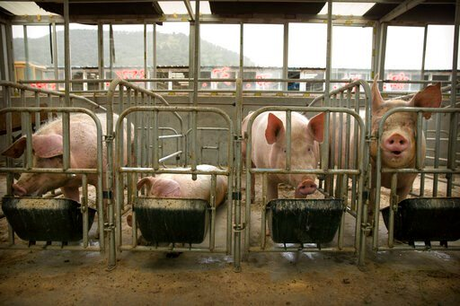 (AP Photo/Mark Schiefelbein). In this May 8, 2019, photo, pigs eat feed at a pig farm in Panggezhuang village in northern China's Hebei province. As a deadly virus ravages pig herds across Asia, scientists are accelerating efforts to develop a vaccine ...