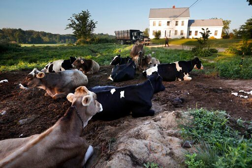 (AP Photo/Robert F. Bukaty). In this Thursday Aug. 15, 2019 photo, dairy cows rest outside the home of Fred and Laura Stone at Stoneridge Farm in Arundel, Maine. The farm has been forced to shut down after sludge spread on the land was linked to high l...