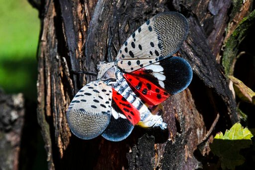 (AP Photo/Matt Rourke). This Thursday, Sept. 19, 2019, photo shows a spotted lanternfly at a vineyard in Kutztown, Pa. The spotted lanternfly has emerged as a serious pest since the federal government confirmed its arrival in southeastern Pennsylvania ...