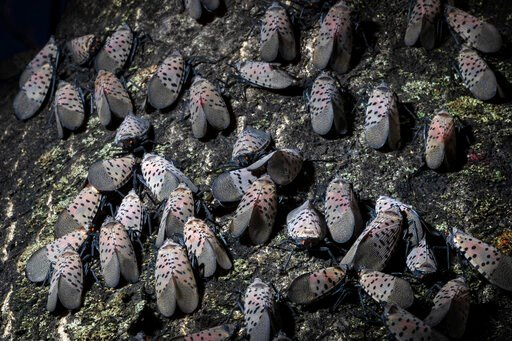 (AP Photo/Matt Rourke). In this Thursday, Sept. 19, 2019, photo, spotted lanternfly gather on a tree in Kutztown, Pa. The spotted lanternfly has emerged as a serious pest since the federal government confirmed its arrival in southeastern Pennsylvania f...
