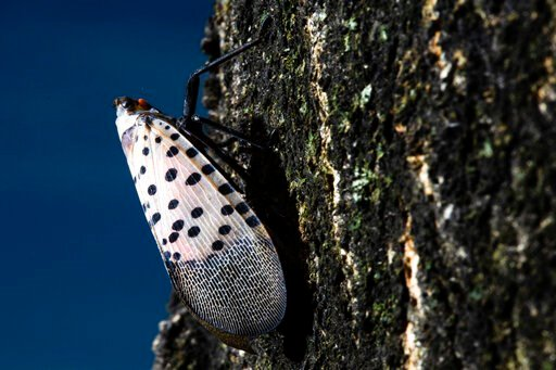 (AP Photo/Matt Rourke). In this Thursday, Sept. 19, 2019, photo, a spotted lanternfly sets on a tree in Kutztown, Pa. The spotted lanternfly has emerged as a serious pest since the federal government confirmed its arrival in southeastern Pennsylvania f...