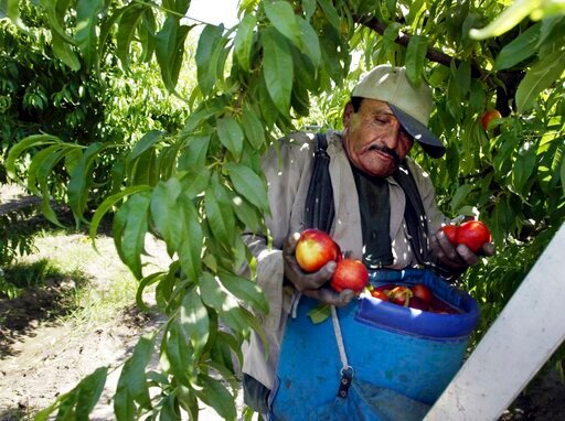 (AP Photo/Damian Dovarganes, File). FILE - In this May 13, 2004, file photo, worker Roberto Rosiles picks fruit at a Sand Hills Farms orchard in Arvin, Calif. Rosiles was one of about 140 workers who were told by supervisors to flee the orchard after p...