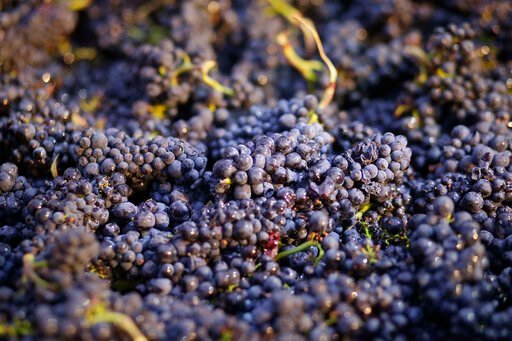 (AP Photo/Eric Risberg, File). FILE - In this Friday, Aug. 29, 2014, file photo, grapes just picked are in a bin in Napa, Calif. A widely used agricultural pesticide that California environmental officials have said has been linked to brain damage in c...