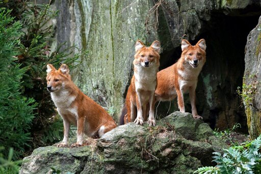 (Julie Larsen Maher/Wildlife Conservation Society via AP). In this recent photo provided by the Wildlife Conservation Society, three male dhole, a species of Asiatic wild dog, that have debuted at the Bronx Zoo, stand in their new habitat adjacent at t...