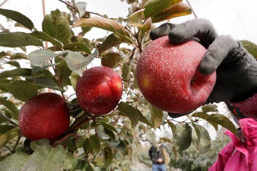 (AP Photo/Elaine Thompson). In this photo taken Tuesday, Oct. 15, 2019, a Cosmic Crisp apple, partially coated with a white kaolin clay to protect it from sunburn, is picked at an orchard in Wapato, Wash. The Cosmic Crisp, a new variety and the first-e...