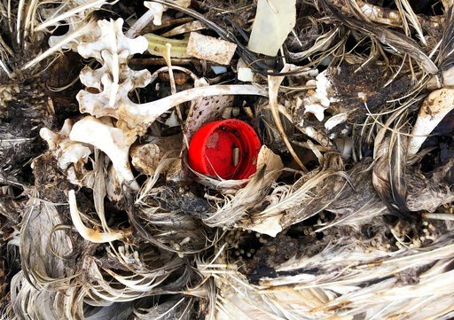 (AP Photo/Caleb Jones). In this Oct. 22, 2019, photo, plastic sits in the decomposed carcass of a seabird on Midway Atoll in the Northwestern Hawaiian Islands. Midway is littered with countless bird skeletons that have brightly colored plastic protrudi...