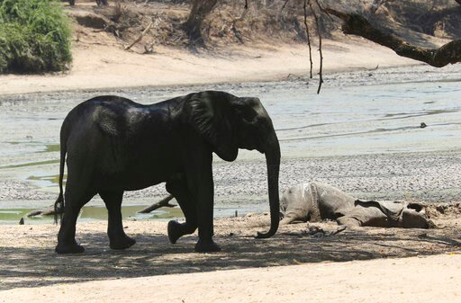 (AP Photo/Tsvangirayi Mukwazhi). In this Oct, 27, 2019, photo, an elephant walks next to a carcass of another elephant in an almost dry pool that used to be a perennial water supply in Mana Pools National Park, Zimbabwe. Elephants, zebras, hippos, impa...