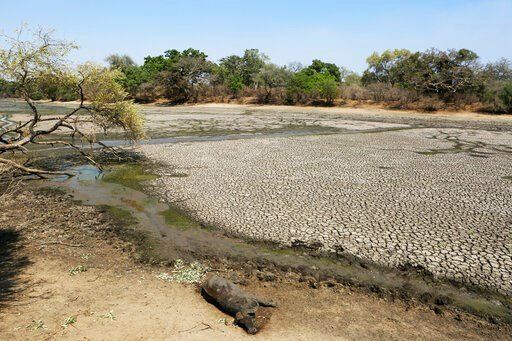 (AP Photo/Tsvangirayi Mukwazhi). In this Oct, 27, 2019, photo, the carcass of a Buffalo lies on the edges of a sun baked pool that used to be a perennial water supply in Mana Pools National Park, Zimbabwe. Elephants, zebras, hippos, impalas, buffaloes ...