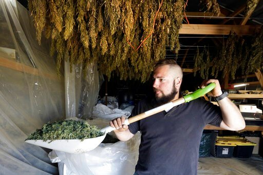 (AP Photo/Don Ryan, File). FILE - In this April 23, 2018, file photo, Trevor Eubanks, plant manager for Big Top Farms, shovels dried hemp as branches hang drying in barn rafters overhead at their production facility near Sisters, Ore. Draft rules relea...