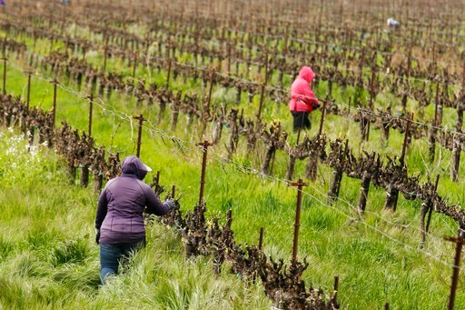 (AP Photo/Rich Pedroncelli). In this March 24, 2020, photo, farmworkers keep their distance from each other as they work at the Heringer Estates Family Vineyards and Winery in Clarksburg, Calif. Farms continue to operate as essential businesses that su...
