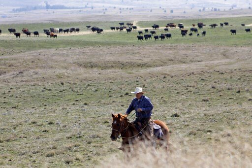 (AP Photo/Gillian Flaccus). In this photo taken March 20, 2020, cattle rancher Joe Whitesell rides his horse in a field near Dufur, Oregon, as he helps a friend herd cattle. Tiny towns tucked into Oregon's windswept plains and cattle ranches miles from...