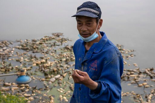 (AP Photo/Ng Han Guan). In this April 6, 2020, photo, Jiang Yuewu talks about his crop of aquatic tubers known as lotus roots in the Huangpi district of Wuhan in central China's Hubei province. Stuck in the same bind as many other Chinese farmers whose...