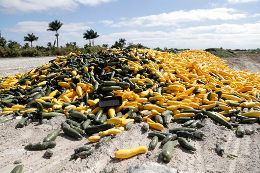 (AP Photo/Lynne Sladky). In this March 28, 2020, photo, a pile of ripe squash sits in a field, in Homestead, Fla. Thousands of acres of fruits and vegetables grown in Florida are being plowed over or left to rot because farmers can't sell to restaurant...